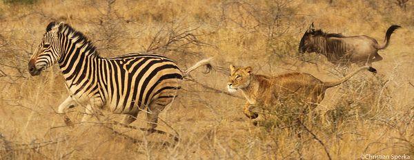 Lions & Zebras